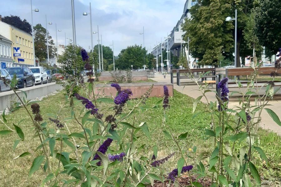 Sommerblumen am Liesinger Anger